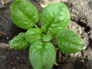 Post image for Gardening: Answers to your veggie questions