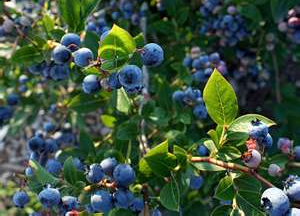 Post image for Pick, buy or grow your own bounty of blueberries