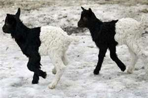 Post image for Biotech farm to milk mutant transgendered offspring of GM goats
