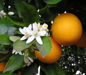 Post image for Citrus assessments predict larger orange crop