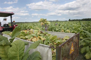 Post image for Tobacco, poultry among NC farm losses from Irene