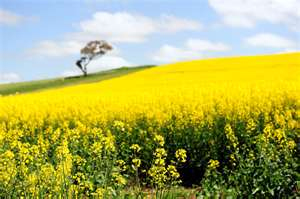 Post image for Canola business blooming for some Mont. growers