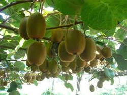 Post image for Kiwifruit earnings at risk