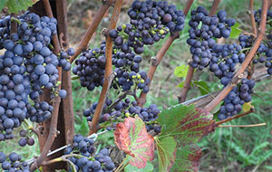 Post image for Grape growers happy with the heat