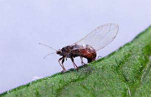 Post image for Insect pest takes heavy toll on potato growers
